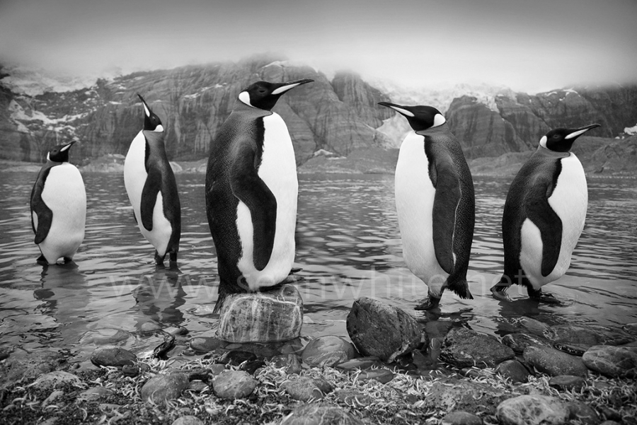 "[Image: SFW030 South Georgia Island 003 by @SeanFWhite - King penguins, South Georgia Island.Photography by Sean F. White on assignment for ""Art Wolfe's Travels to the Edge"". All Rights Reserved. on Propic]"
