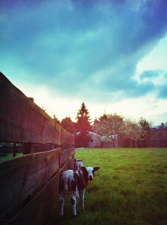 [Image: Image by @colinvdbel - Lamb at sunset behind our garden on Propic]