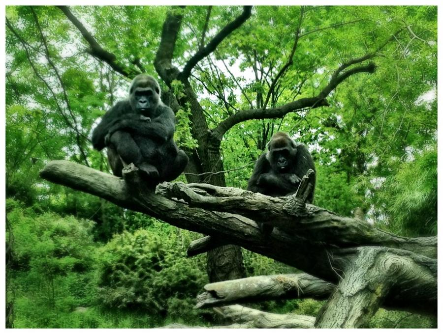 [Image: Image by @MNS1974 - Had fun with @Miss_H_Bomb shooting gorillas at the Bronx Zoo yesterday. Got some nice pics on Propic]