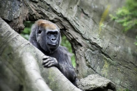 [Image: IMG 1981 by @MissHBomb - Creepy gorilla. Just moved its eyes. #BronxZoo w/@MNS1974 on Propic]