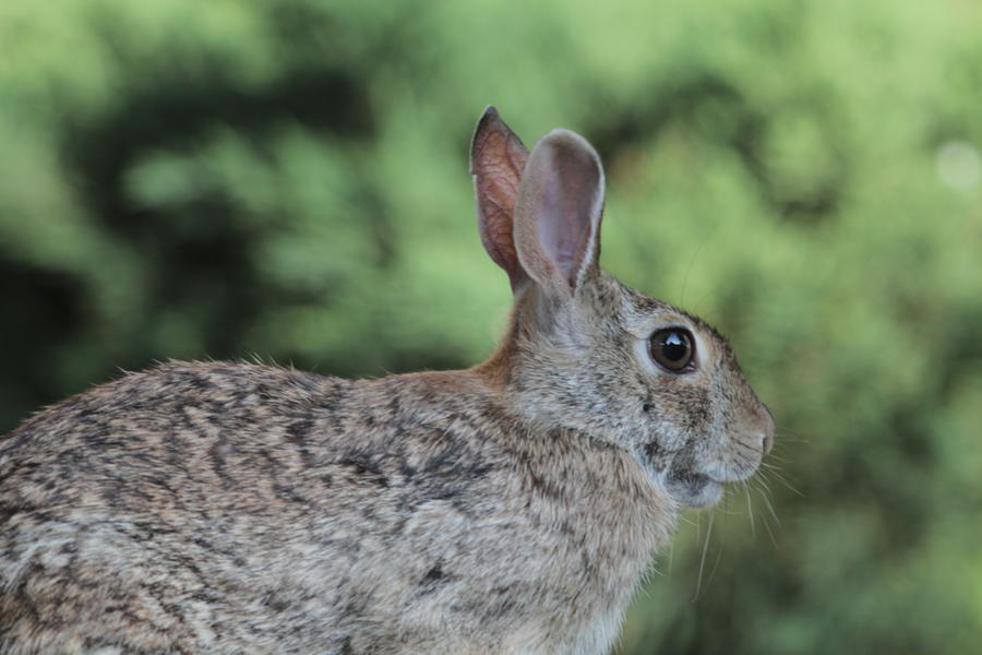 [Image: Rabbit on the Canon 100-400mmL by @KrishanBansal - Picture of a rabbit at 400mm on the Canon 7D. on Propic]