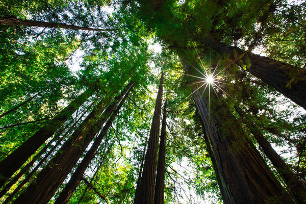 [Image:  L8C0146 2 by @EricHinesPhotos - Redwoods on Propic]