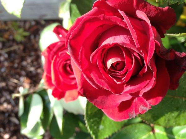 [Image: Image by @goforjared - A few #Rose pics for the ladies. #BlackBaccara on Propic]