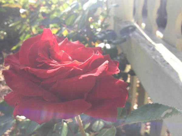 [Image: Image by @goforjared - More #Rose from the garden #PHOTOGRAHY on Propic]