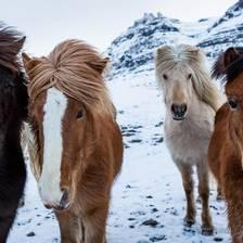 [Image: Icelandic Horses]