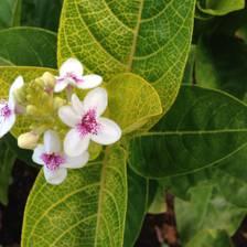 [Image: Hawaiian Flowers]