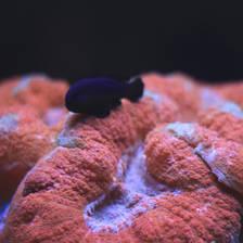 [Image: Coral by kurtleenettleton]