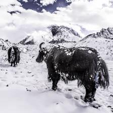 [Image: Yaks on Everest]